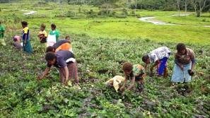 Harvesting Sweet Potatoes - Kaukau
