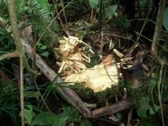 Ripe Fallen Pandanus - Kosipe