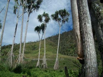 Fully Grown and aging Padanus tree - Kosipe