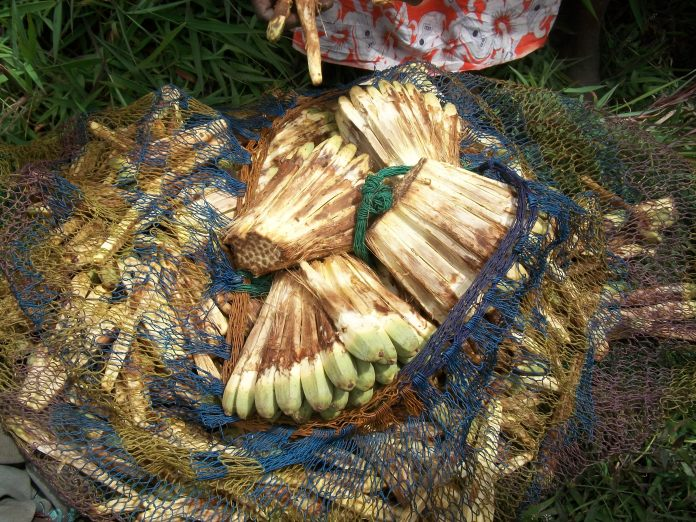 Ripe Fallen Pandanus been collected and bag for either consumption of drying- Kosipe