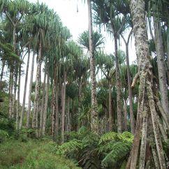 Padanus Tree - Yeme 1