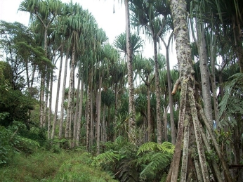 A plantation of pandanus trees along the road at Yeme Village. Yeme is situated between Woitape Government station and Kosipe Mission station.