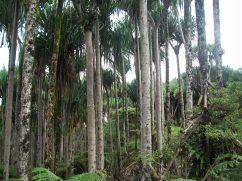 Pandanu Plantation - Yeme
