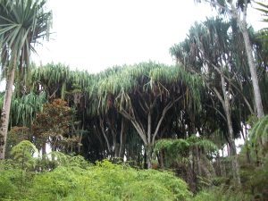 Matured Pandanus trees at Yeme, Woitape LLG, Goilala