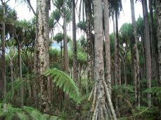 Part of the Padanus Tree in a Pandanus Plantation in Yeme, Woitape