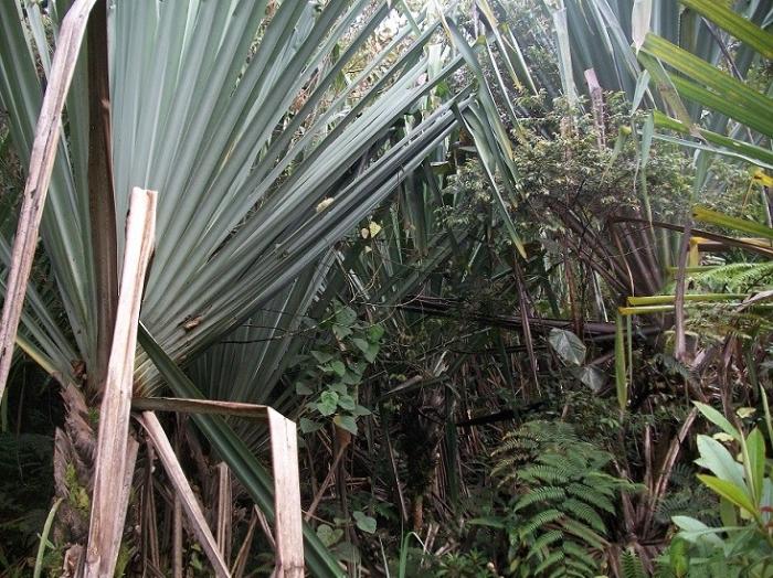 Young Pandanus Trees
