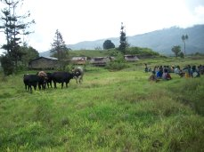 Cattle grasing while locals have a meeting