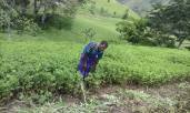 wia-tapini-women-harvest-peanuts-9