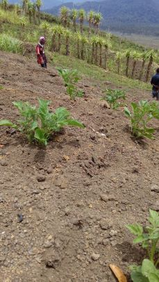 There are 4 clans in Kosipe. Iveiava clan is one of them and they were given 2 English Potato seedlings to plant and then get seedlings from there.