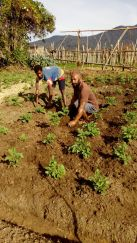 There are 4 clans in Kosipe. Lavavai is one of them and they were given 2 English Potato seedlings to plant and then get seedlings from there.
