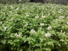 Flowering English Potatoes - Tanipai