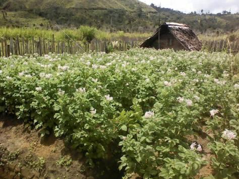 flowering-english-potatoes-kosipe-6