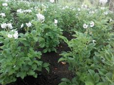 Flowering English Potatoes - Kosipe