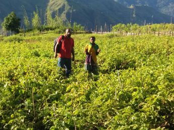 Michael Atuai in the Potato Farm plot in Kambisea