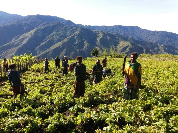 English Potato Farm plot at Kambisea