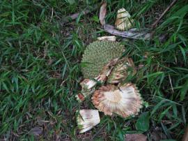 The Karuka [Pandanus Nut] season is here. Fallen Pandanus in Goilala, Central Province, Papua New Guinea. Photo Credit: Michael Kenava